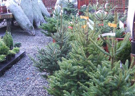 Christmas Trees Skye Shrubs