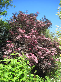sambucus black beauty 2