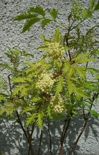 sambucus sutherlands gold